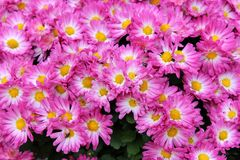 Gorgeous Details Of Bright White And Purple Flowers With Yellow Centers In Someone`s Backyard Garden Royalty Free Stock Photos