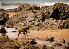 Gorgeous Dog Shaking off after a swim in the Ocean royalty free stock images