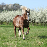 Gorgeous draft horse running in front of flowering trees Royalty Free Stock Photography