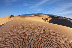 Gorgeous dromedary on sand dunes Stock Photography