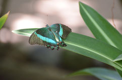 Gorgeous Emerald Swallowtail Butterfly Sparkling in the Sun Stock Photos