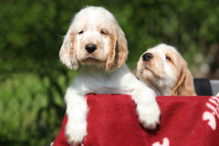Gorgeous English Cocker Spaniel puppies Royalty Free Stock Images
