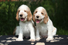 Gorgeous English Cocker Spaniel puppies sitting Royalty Free Stock Photo