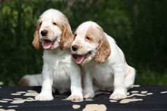 Gorgeous English Cocker Spaniel puppies sitting Stock Photos