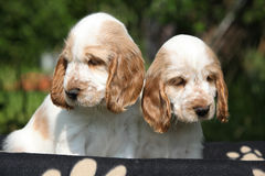 Gorgeous English Cocker Spaniel puppies sitting Royalty Free Stock Photography