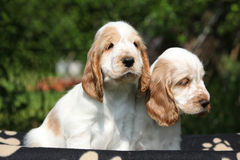 Gorgeous English Cocker Spaniel puppies sitting Stock Photography