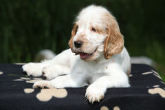 Gorgeous English Cocker Spaniel puppy lying Royalty Free Stock Photo