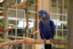 Gorgeous exotic bird called the Macaw Royalty Free Stock Photo