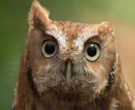 Gorgeous eyes of owl Royalty Free Stock Photography