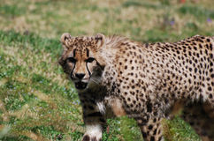 Gorgeous Face of a Cheetah with Distinctive Markings Stock Photography