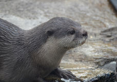 Gorgeous Face of a River Otter Sitting in Shallow Water Royalty Free Stock Photography