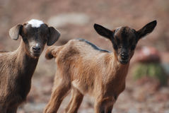 Gorgeous Faces and Expressions on Baby Goats Royalty Free Stock Photos