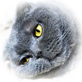 The head of a Scottish shorthair cat with bright yellow eyes. royalty free stock images