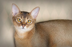Gorgeous Female Abysssinian Cat Stock Images