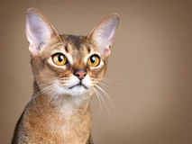 Gorgeous Female Abysssinian Cat Royalty Free Stock Images