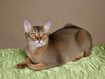 Gorgeous Female Abysssinian Cat Royalty Free Stock Photography