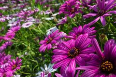 Gorgeous field of purple and white African daisies royalty free stock photos