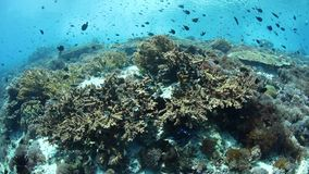 Gorgeous fish and reef in Alor, Indonesia. Colorful reef fish swim above a vibrant coral reef near Alor, Indonesia. This tropical region, part of the Coral stock video footage