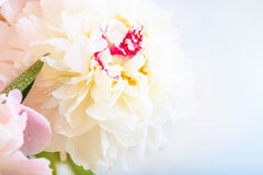 A gorgeous floral background with delicate petals of a blooming peony. Royalty Free Stock Image