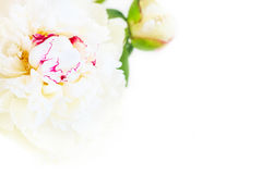 A gorgeous floral background with delicate petals of a blooming peony. Royalty Free Stock Photo
