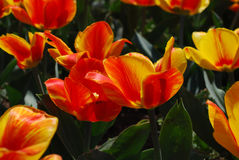 Gorgeous Flowering Orange and Red Blooming Tulips. Striped red and orange flowering tulips in a garden Royalty Free Stock Photo