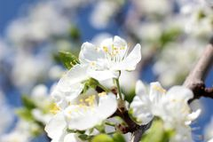 Gorgeous flowers in April. Blooming tree in spring garden on sky background Stock Photos