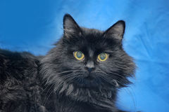 Gorgeous fluffy black cat Royalty Free Stock Images