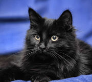Gorgeous fluffy black cat Royalty Free Stock Image