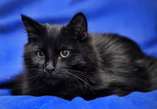 Gorgeous fluffy black cat Royalty Free Stock Photos