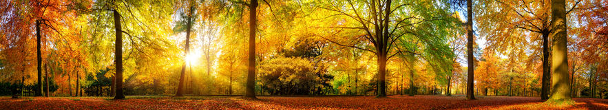 Gorgeous forest panorama in autumn. Extra wide panorama of a gorgeous forest in autumn, a scenic landscape with pleasant warm sunshine