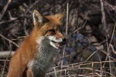 Gorgeous fox sitting in the forest stock images
