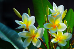 Gorgeous Frangipani Flowers. A group of gorgeous frangipani flowers in the garden stock images