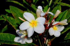 Gorgeous Frangipani Plumeria Stock Photo