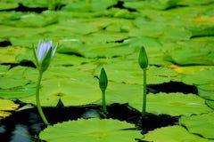 Gorgeous Frangipani Plumeria Royalty Free Stock Photo