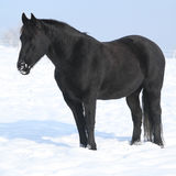 Gorgeous friesian horse standing in shining snow Stock Photos