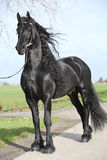Gorgeous friesian stallion with long hair Royalty Free Stock Photo