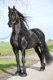 Gorgeous friesian stallion with long hair Royalty Free Stock Photo