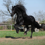 Gorgeous friesian stallion with long mane running on pasturage Stock Images
