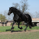 Gorgeous friesian stallion with long mane running on pasturage Stock Photography