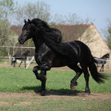 Gorgeous friesian stallion with long mane running on pasturage stock image