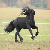 Gorgeous friesian stallion running stock photography