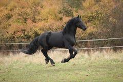 Gorgeous friesian stallion running