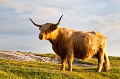 Gorgeous galloway cow with horns Stock Images