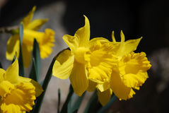 Gorgeous Garden with Yellow Jonquil Flowers. Flowering yellow jonquil flowers in a bulb garden stock image