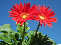 Gorgeous Gerberas stock photo