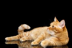 Gorgeous Ginger Cat on Isolated Black background. Lazy Ginger Cat Lying on Mirror Isolated Black background and Looking up royalty free stock photos