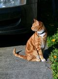 Hansome young ginger red cat sitting in a driveway next to a flower bed. stock images