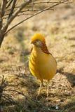 Gorgeous golden pheasant Royalty Free Stock Photos