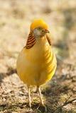 Gorgeous golden pheasant Stock Photos