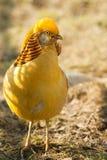 Gorgeous golden pheasant Royalty Free Stock Photography